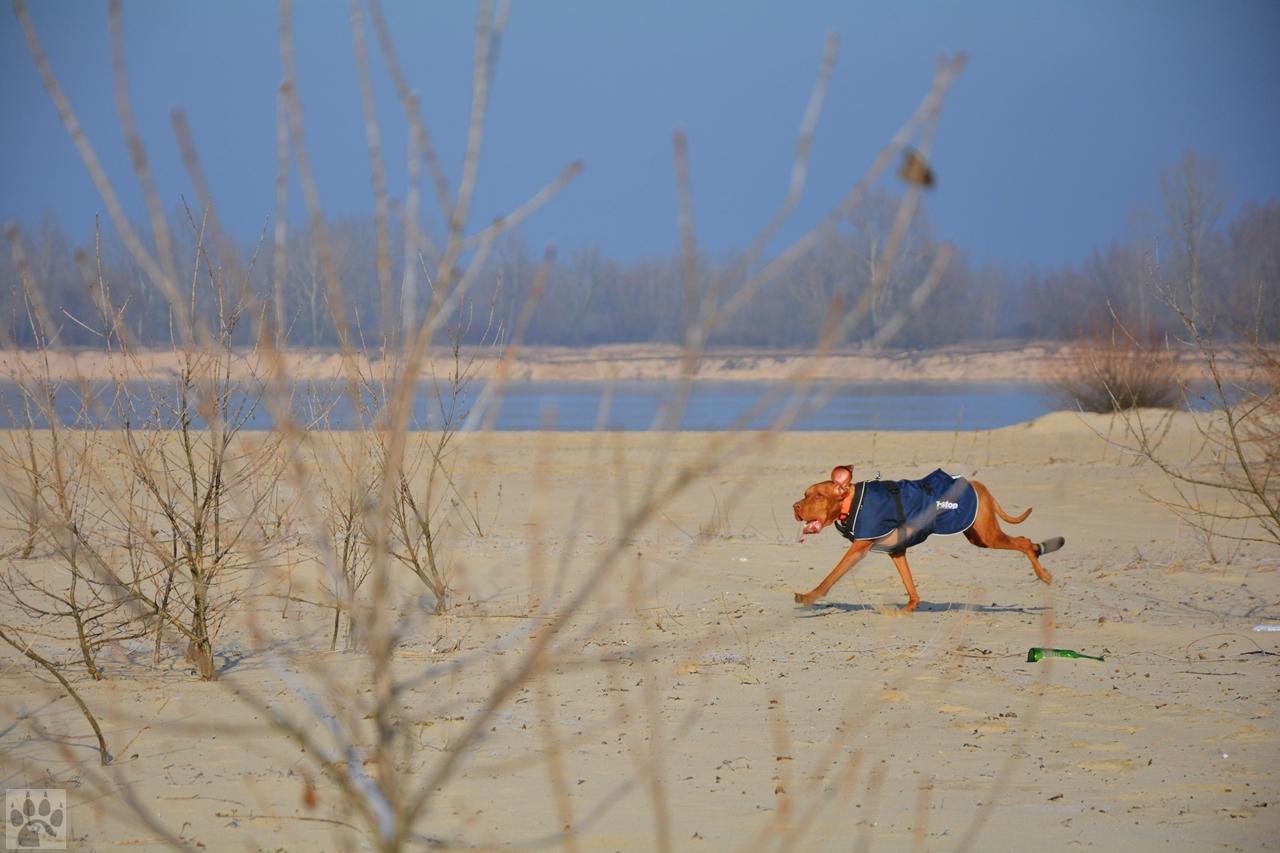 Wyżeł na plaży