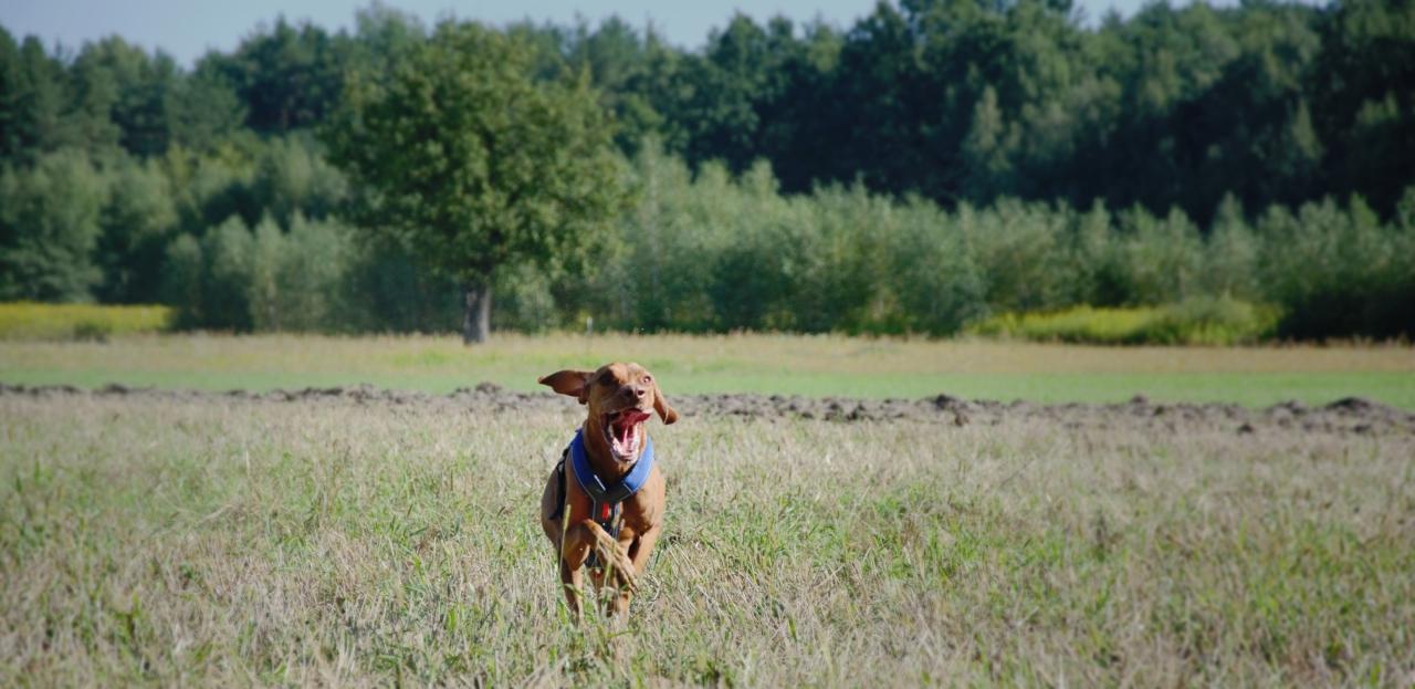Wyżeł pędzi przez pole.