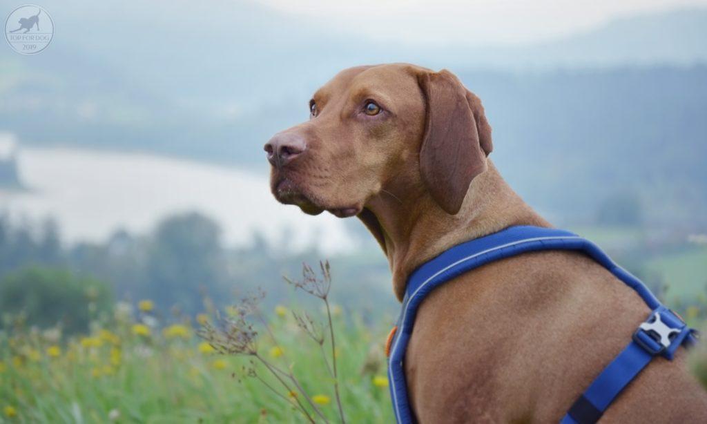 Wyżeł w niebieskich szelkach Non-stop dogwear wpatruje się w dal.