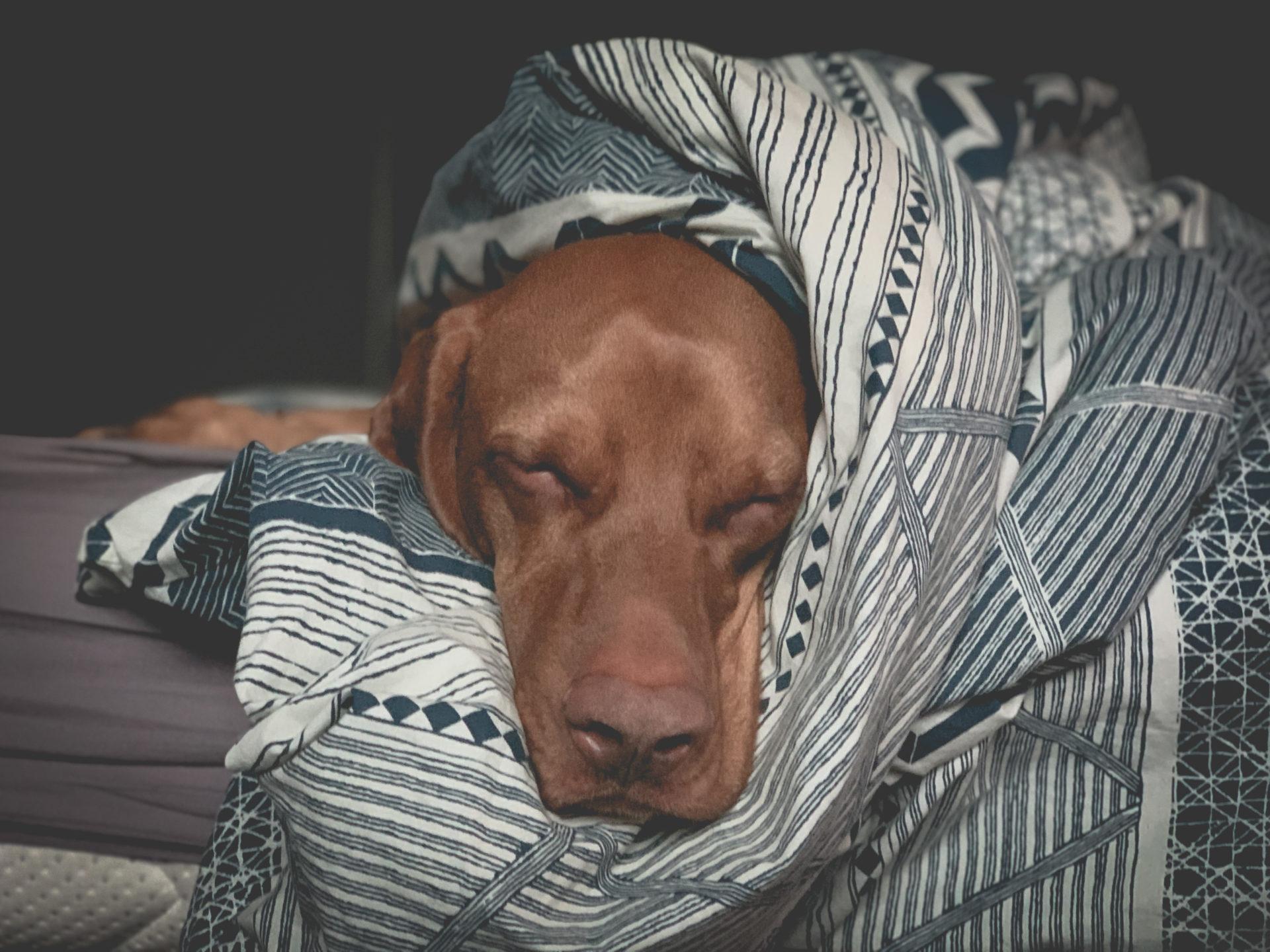 Wyżeł śpiący na łóżku