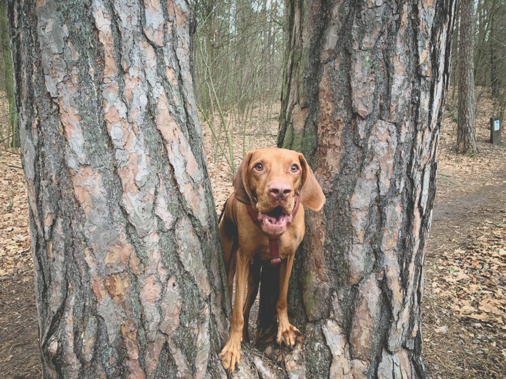 Wyżeł w lesie